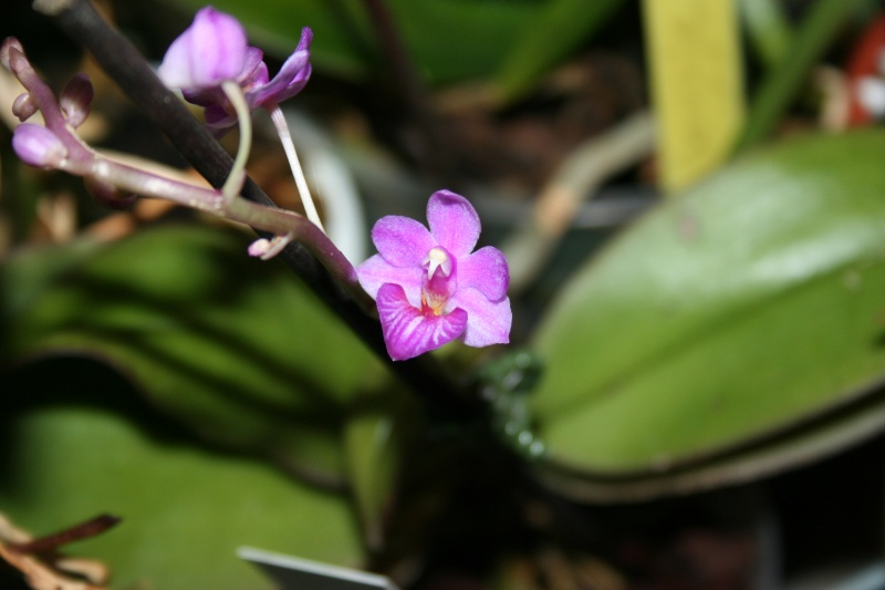 phalaenopsis san shia appendo blue Img_0126
