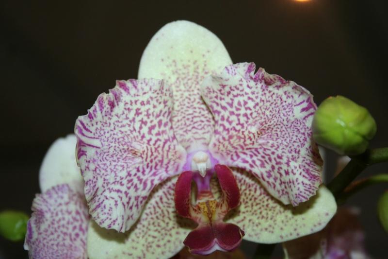 phalaenopsis hybride Img_0213