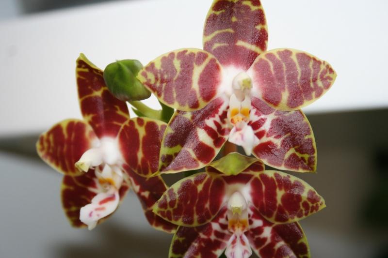 phalaenopsis ambonosa (amboinensis x venosa red) Img_0217