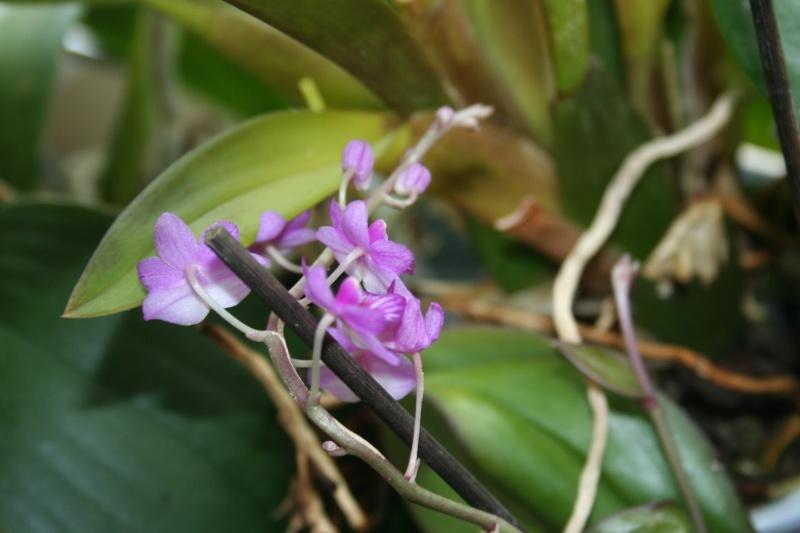 phalaenopsis san shia appendo blue Img_0222