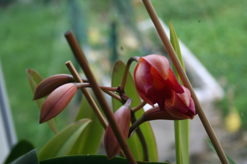 Cattleya orange rose Img_0313
