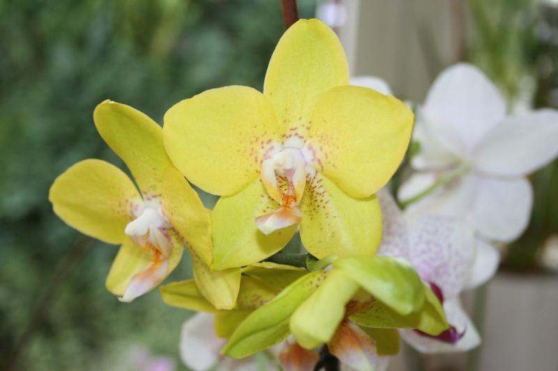 phalaenopsis jaune Img_0315