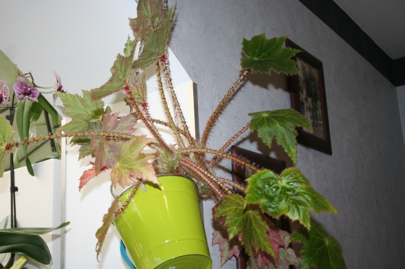 begonia 'immense' !!! - Page 7 Img_0321