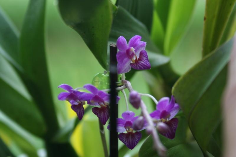 phalaenopsis san shia appendo blue Img_0326