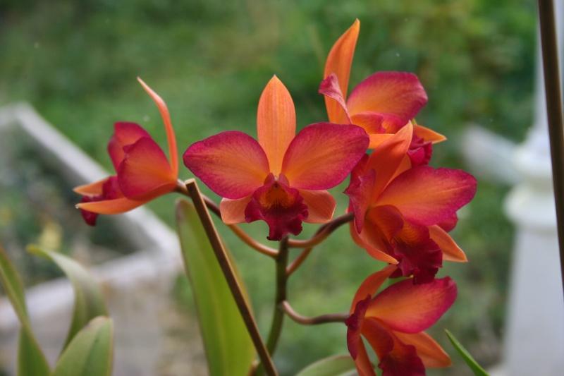 Cattleya orange rose Img_0411