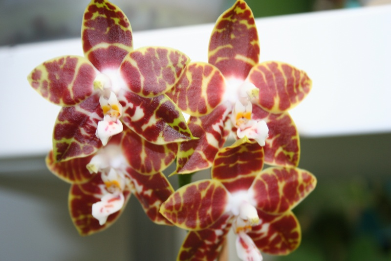 phalaenopsis ambonosa (amboinensis x venosa red) Img_0412