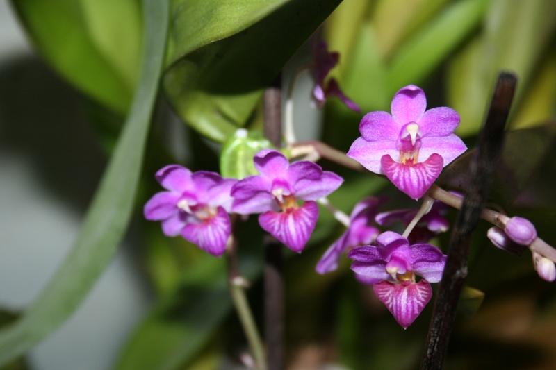 phalaenopsis san shia appendo blue - Page 2 Img_0418