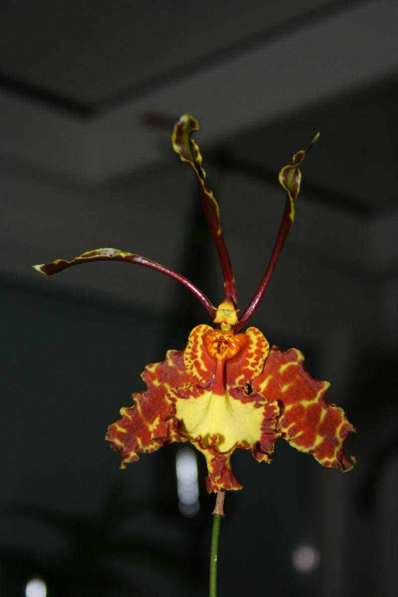 psychopsis mariposa Img_0616