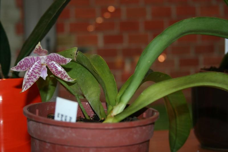 phalaenopsis  hieroglyphica Img_0624