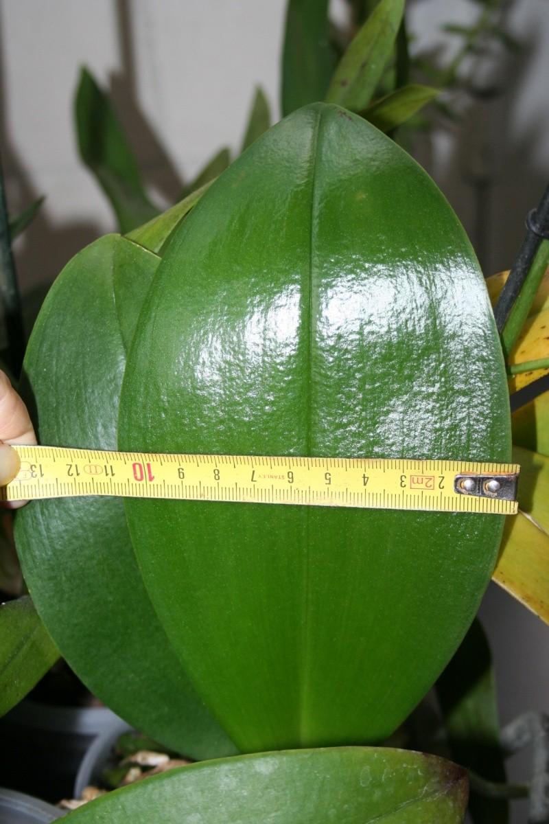 phalaenopsis rouge  Img_0629
