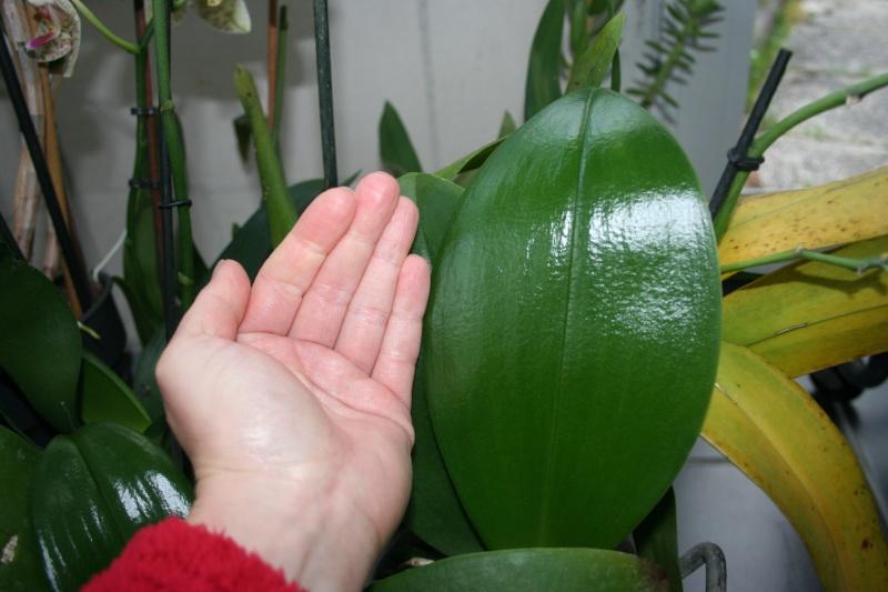 phalaenopsis rouge  Img_0631