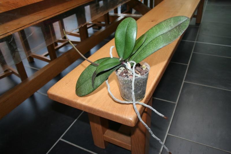 phalaenopsis de begodingue Img_0632