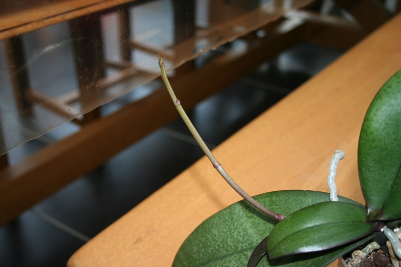 phalaenopsis de begodingue Img_0634