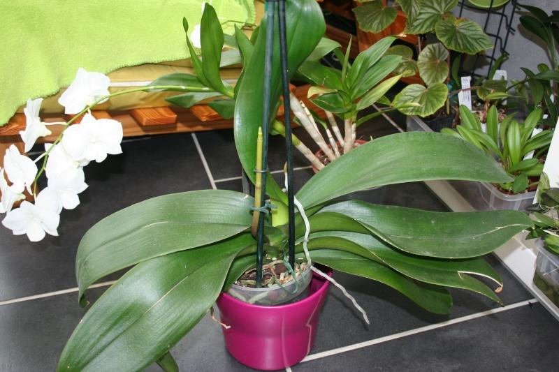 phalaenopsis blanc a fleurs enooooooooormes Img_0715