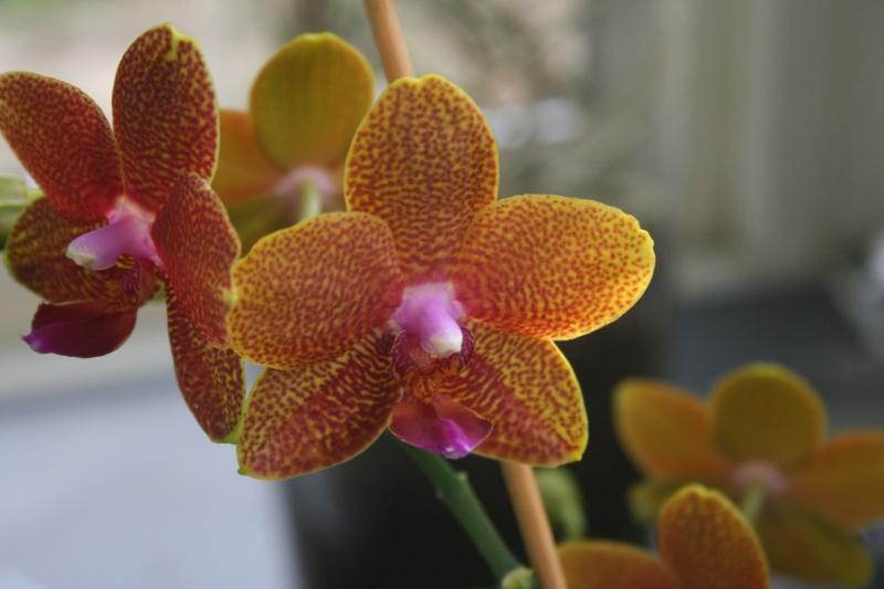 phalaenopsis cuivre bouddha Img_0810