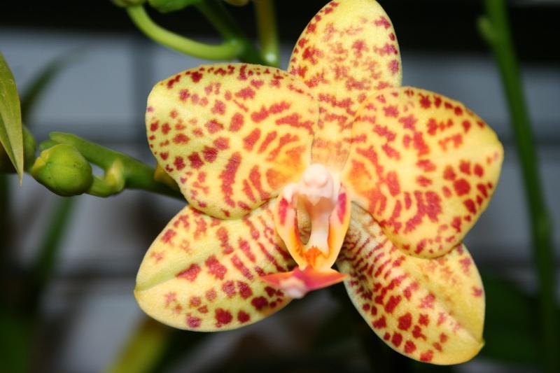 phalaenopsis calistyle Img_1011