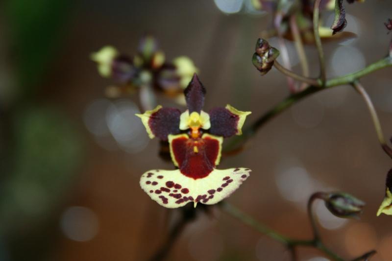 tolumnia hybride Img_1018