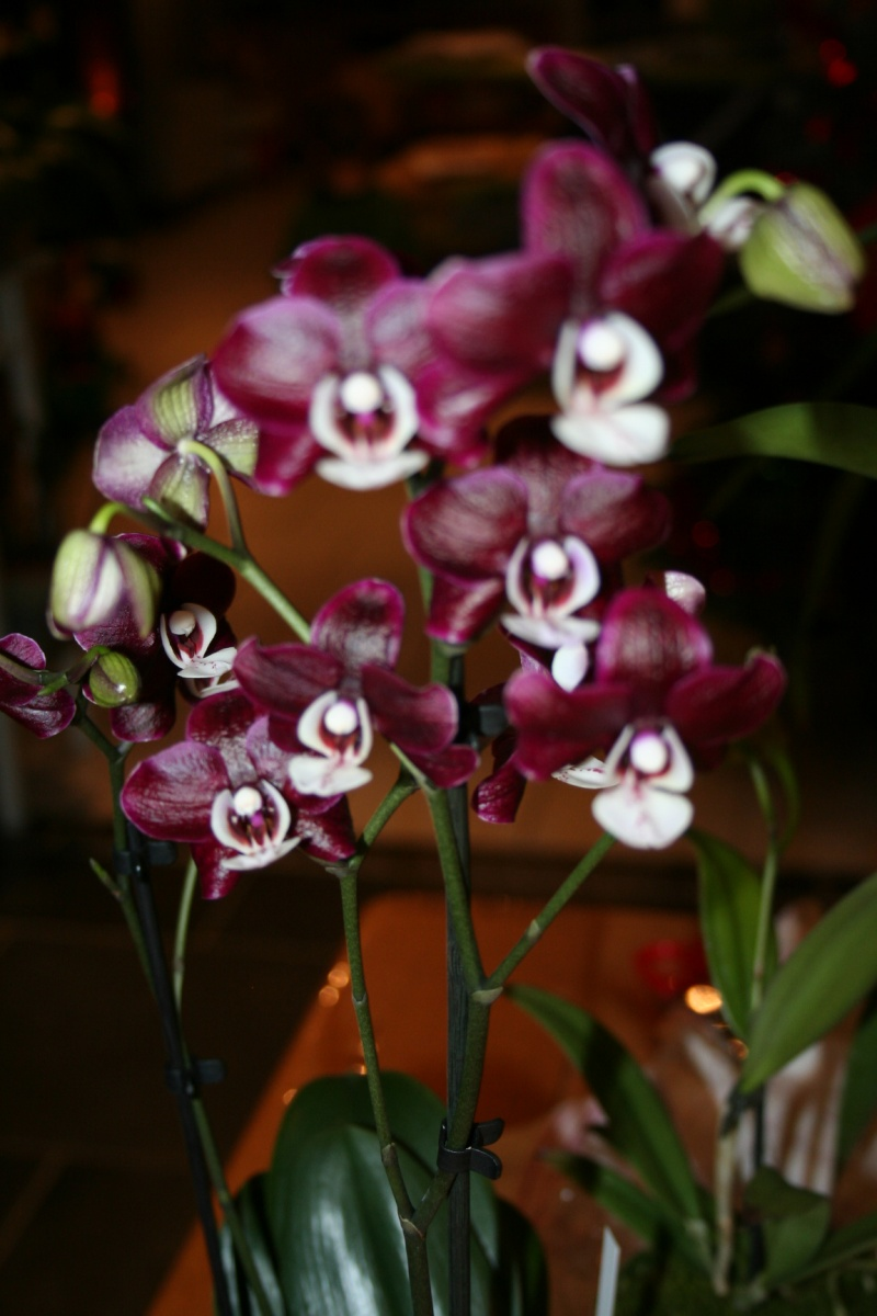 phalaenopsis kaoda Img_1021