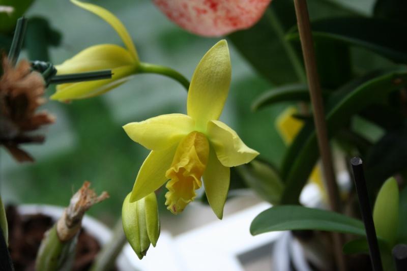 cattleya hybride jaune vert Img_1029