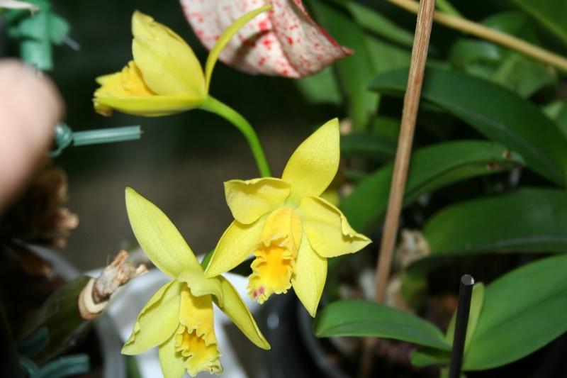 cattleya hybride jaune vert Img_1122