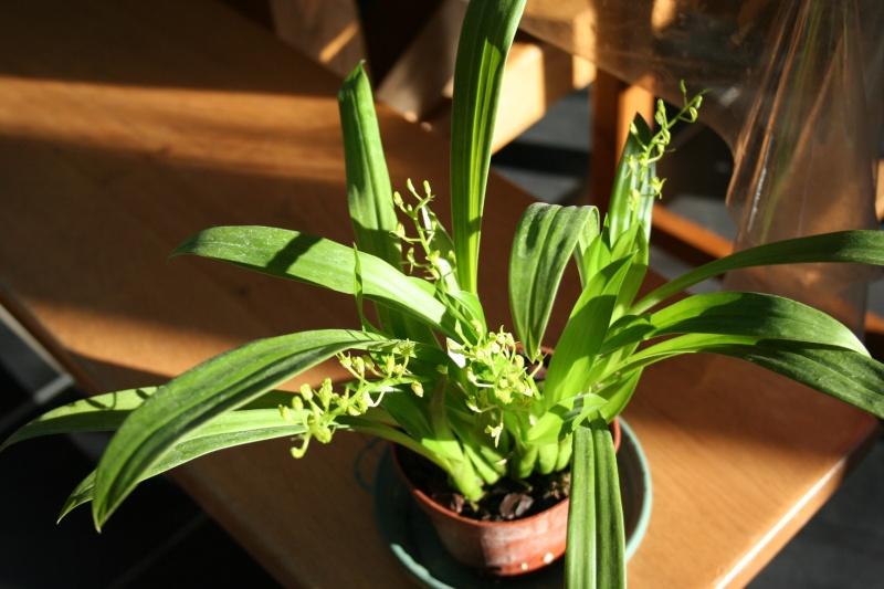 liparis chloroxantha Img_1126