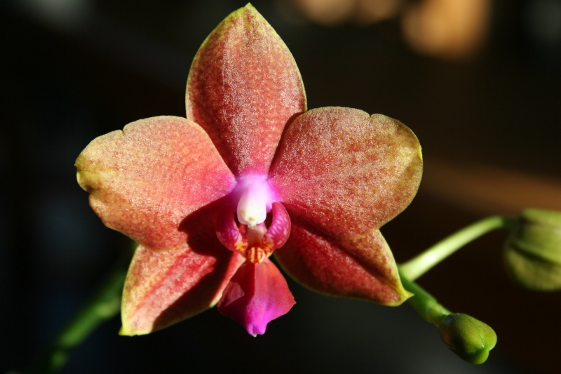 phalaenopsis magical Img_1127
