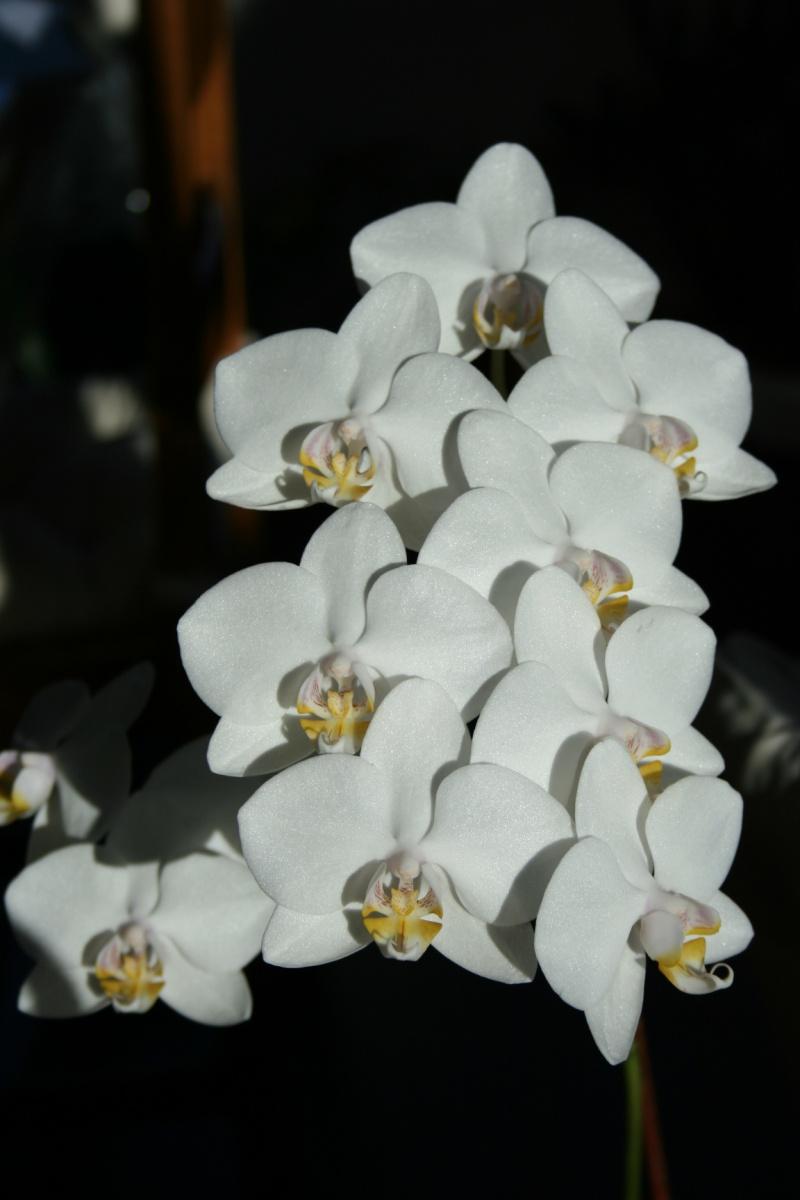 phalaenopsis blanc Img_1135