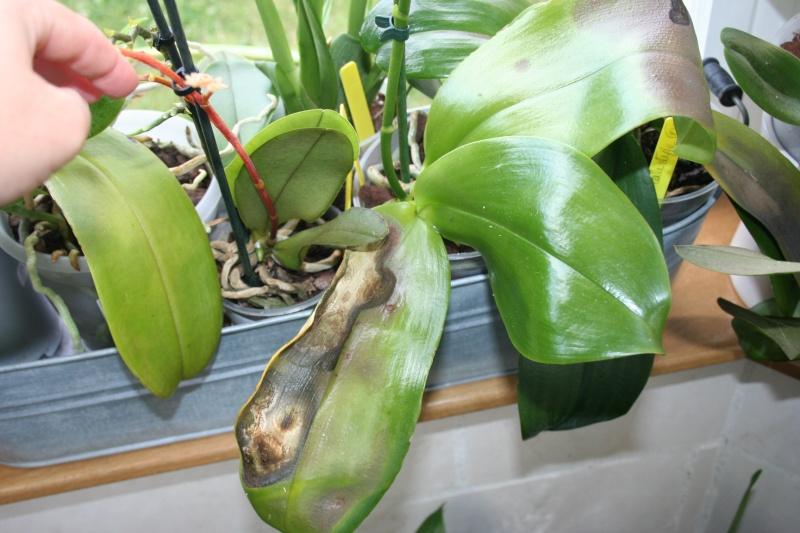 Mon nouveau phalaenopsis - Page 9 Img_9912