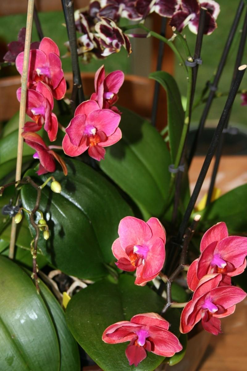 phalaenopsis bordeau Img_9917