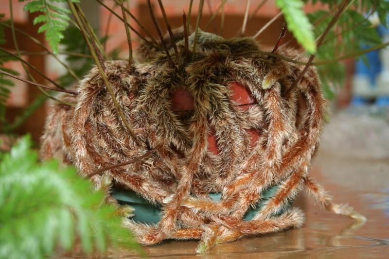 fougere araignée (davallia fejeensis) - Page 3 Img_9923