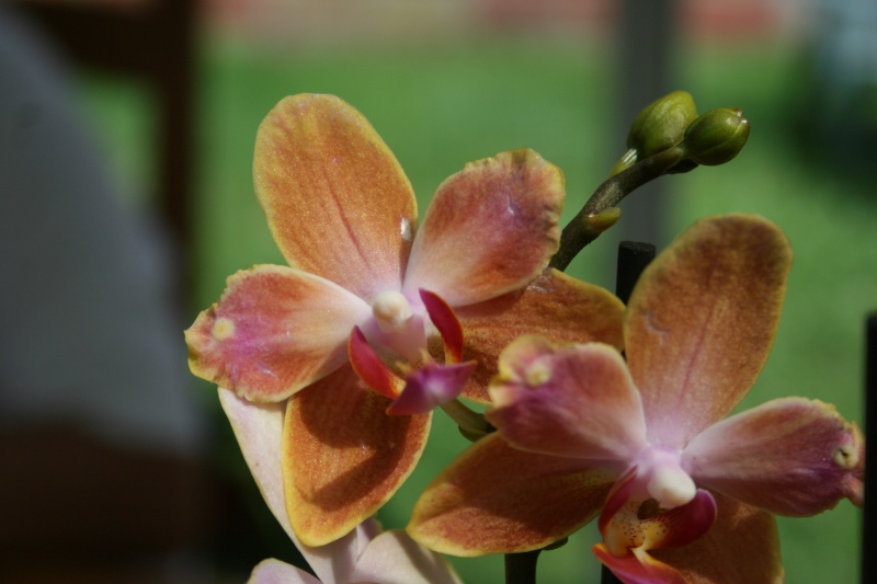 nouveaux phalaenopsis hybride : balade en jardinerie - Page 2 Img_9925