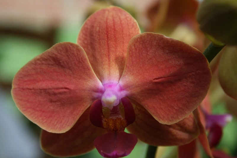 nouveaux phalaenopsis hybride : balade en jardinerie - Page 2 Img_9926
