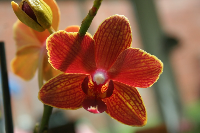 nouveaux phalaenopsis hybride : balade en jardinerie - Page 2 Img_9930