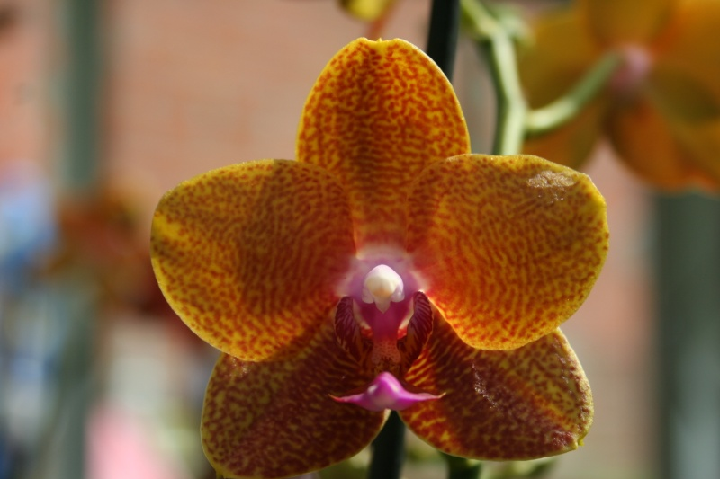 nouveaux phalaenopsis hybride : balade en jardinerie - Page 2 Img_9932