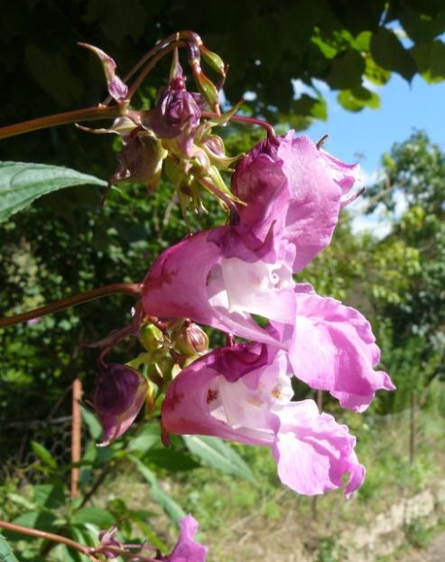 Impatiens glandulifera - balsamine de l'Himalaya  Balsam10