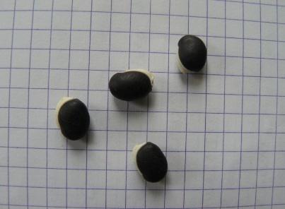 Dolichos kilimandscharicus var. argyrophyllus (= Dolichos lablab) - dolique d'Egypte Doliqu10