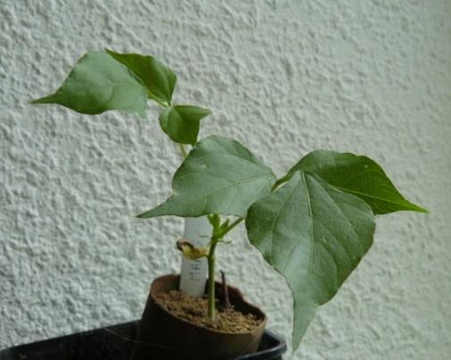 Dolichos kilimandscharicus var. argyrophyllus (= Dolichos lablab) - dolique d'Egypte Doliqu11
