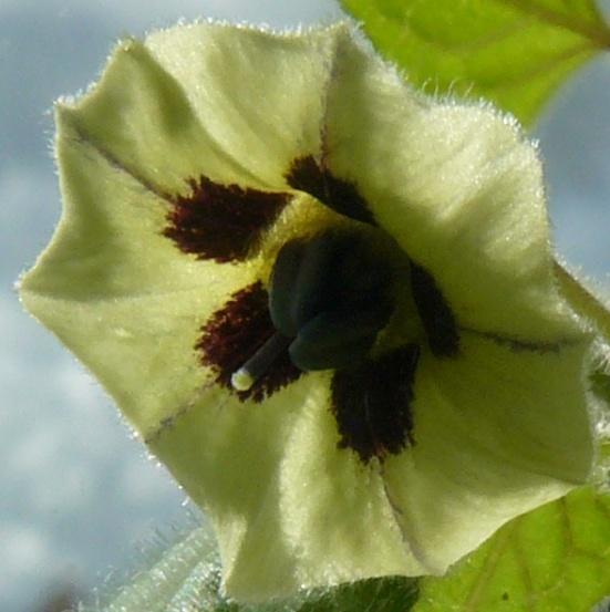 Physalis peruviana - coqueret du Pérou Fleur_10