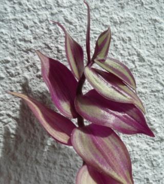 Tradescantia zebrina var. zebrina (= Tradescantia pendula) Tres_210