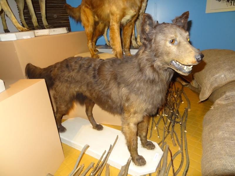 Le chien pendant la 1ère guerre mondiale Dsc00819