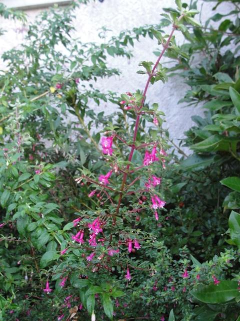 Fuchsia microphylla  Dsc07811