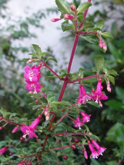 Fuchsia microphylla  Dsc07812