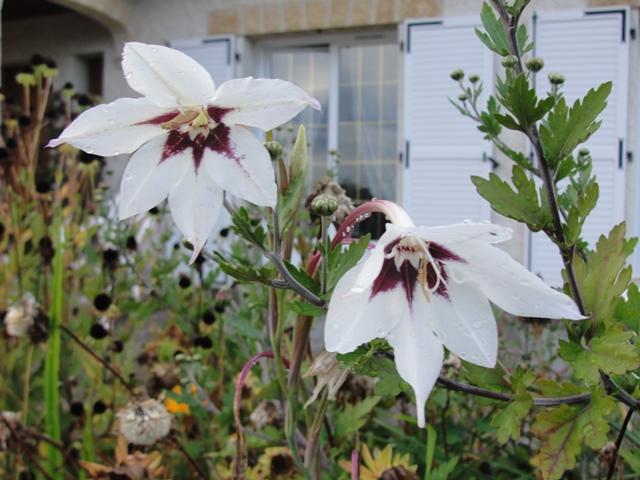 Glaïeul d'Abyssinie ou Acidanthera ou gladiolus murielae Dsc07813