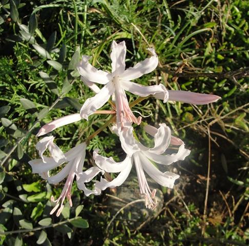Nerine bowdenii  ou Lis de Guernesey ou lys de jersey Dsc08010
