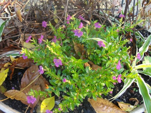 cuphéa hyssopifolia ou étoile du mexique Dsc08313