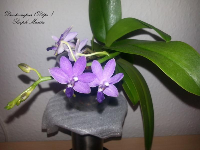 Dtps. Purple Martin 2014-013