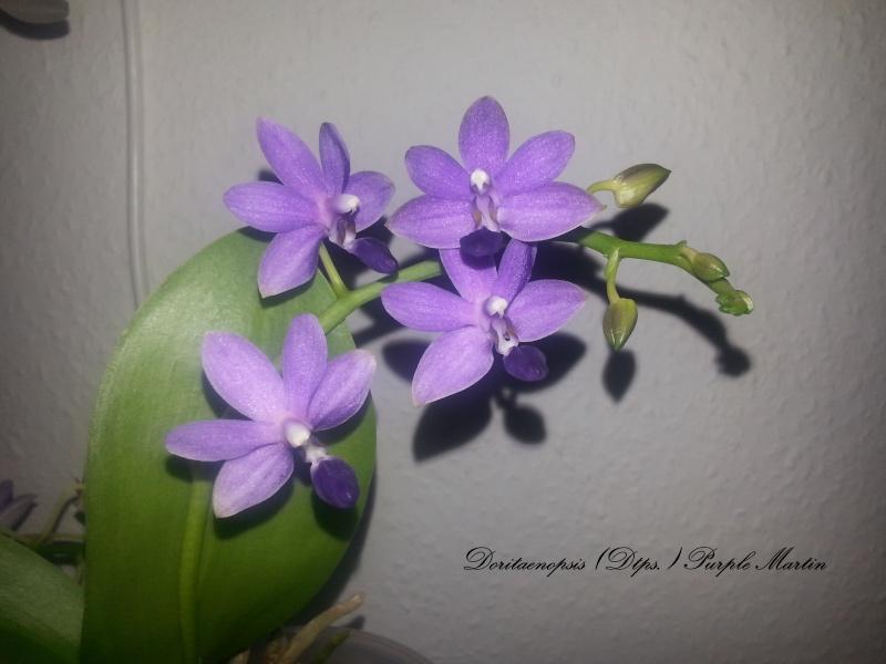 Dtps. Purple Martin 2014-015