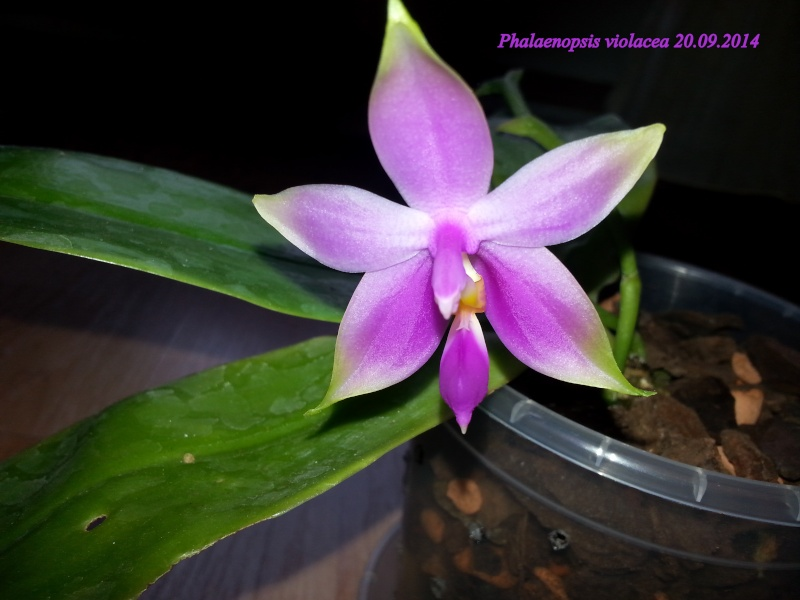 Phalaenopsis violacea - Seite 2 2014-019