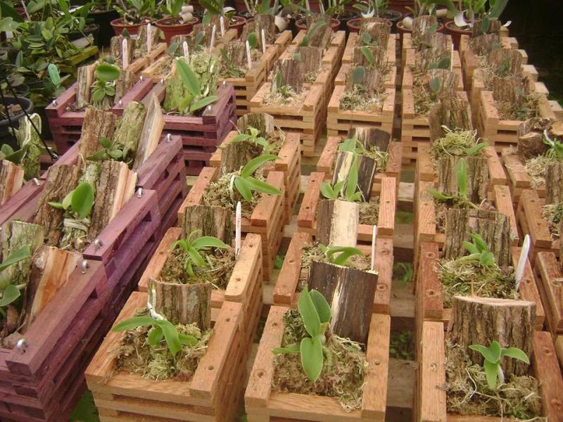 Cattleya walkeriana en culture  10614210