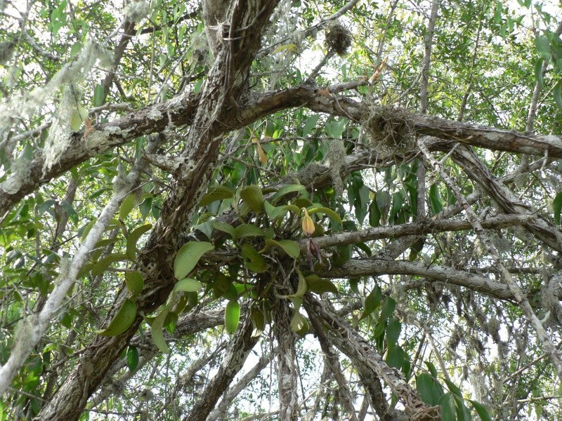 Cattleya aclandiae en hydro P1070011